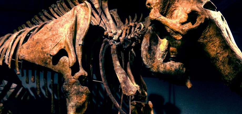 cropped photo of a fossilized mammoth skeleton