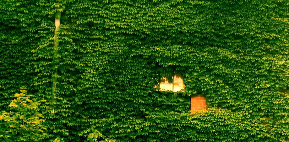 a brick wall nearly completely encompassed in ivy