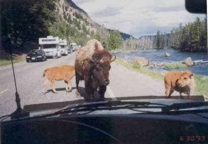 a massive buffalo blocks the road in Yellowstone National Park