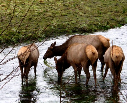 elk drinking from the hoh river