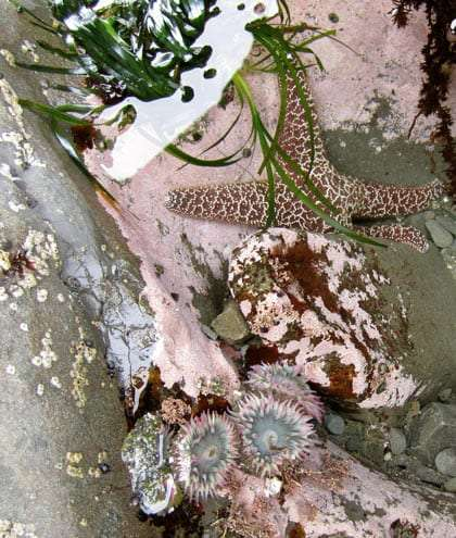 Tide pool.   sea star and anemones amongst eelgrass.