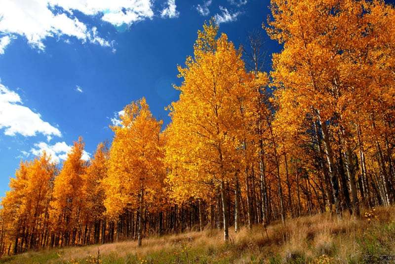 Autumn trees, near Lake City, Colorado