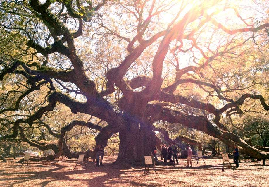 a massive live oak tree