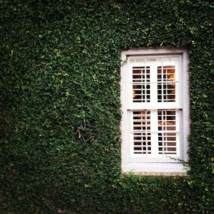 a wall of pure ivy, a white window pokes through