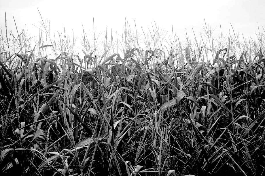 black and white of a corn field, dyersville field of dreams