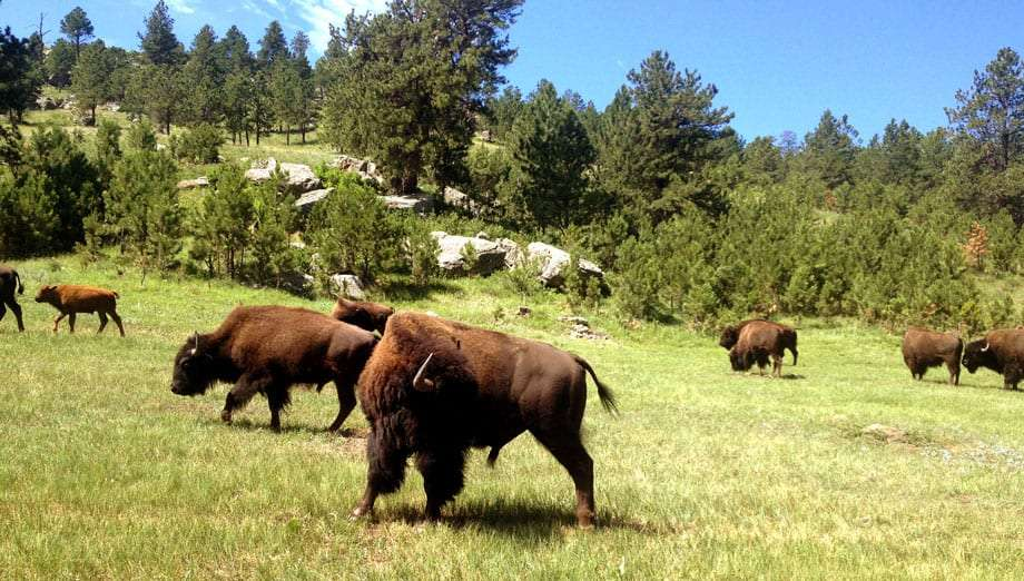 large bison walking through a field