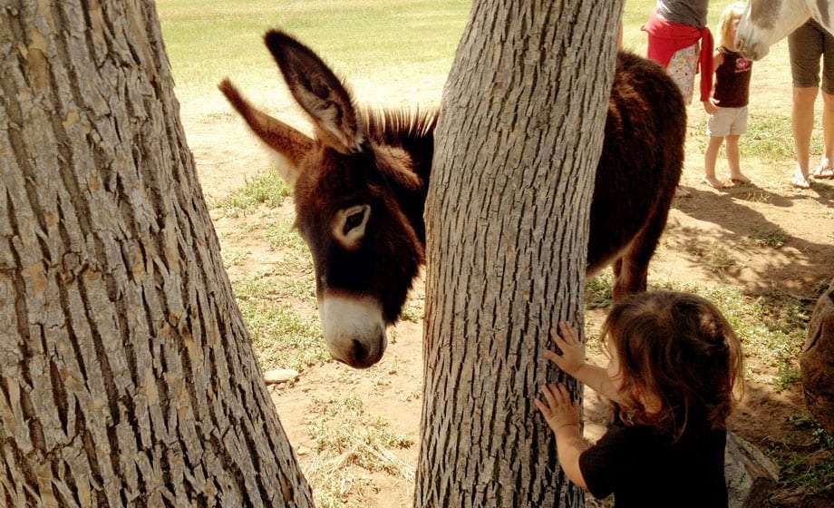 A burro, a kind of donkey, and a two year old boy peek at one another around a tree