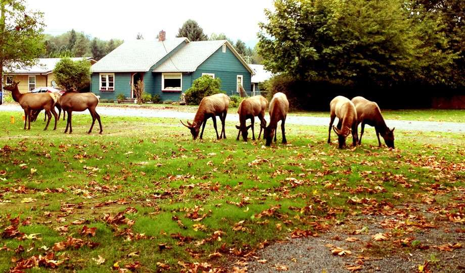 Elk gather right in town in nearby Packwood, Washington.