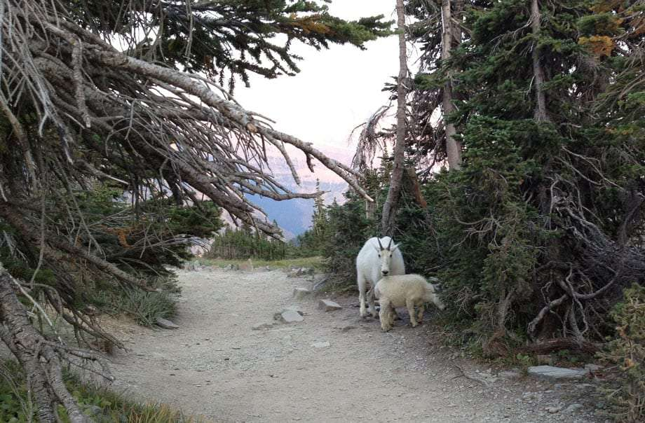 a mother mountain goat and her baby stand along a trail