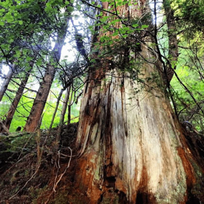 the bark of a redcedar has been stripped, leaving its white trunk in stark contrast to its green leaves