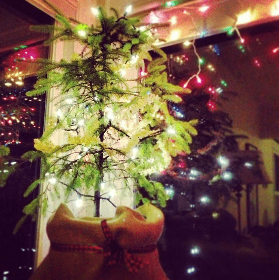 a sitka spruce sapling with Christmas lights hanging from its bows