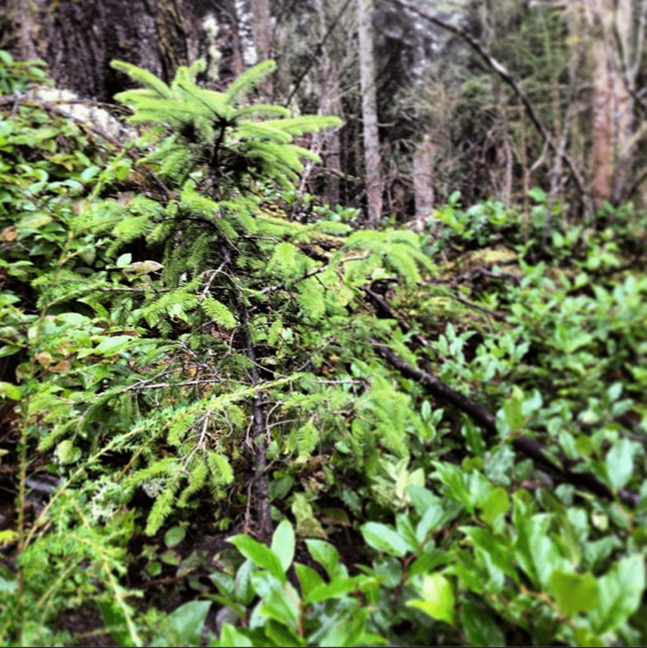 a sitka spruce sapling grows in the foliage of winter, Astoria Oregon