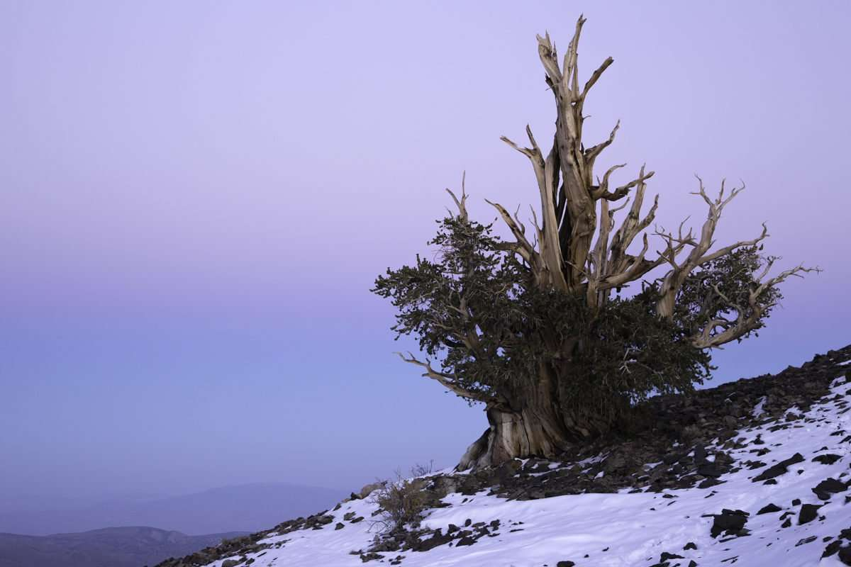 a lone bristlecone pine against the sunset of a white mountain night