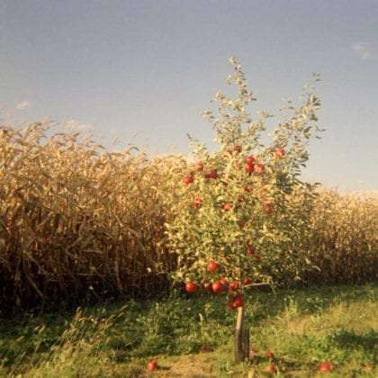 a small apple tree against a larger orchard