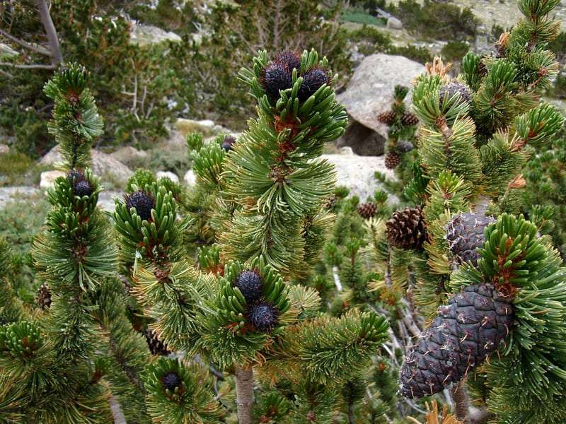 the limbs, needles and cones of a Bristlecone pine