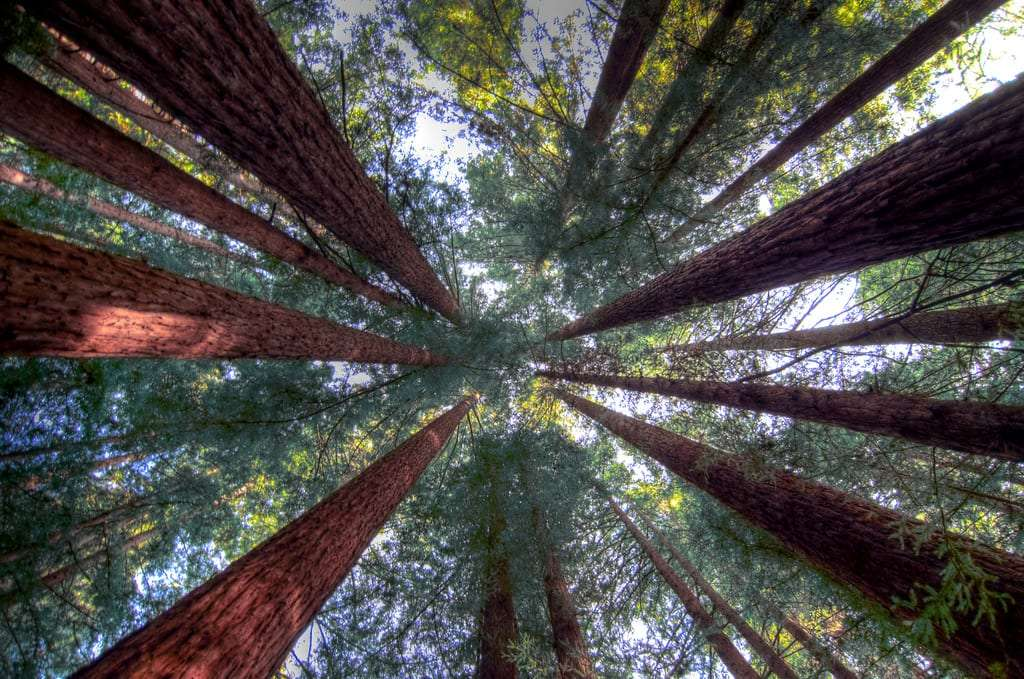 looking skyward through the tops of the redwood trees is dizzying at times