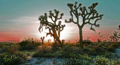 joshua trees, twisted and standing tall, against the sunset of a spring desert