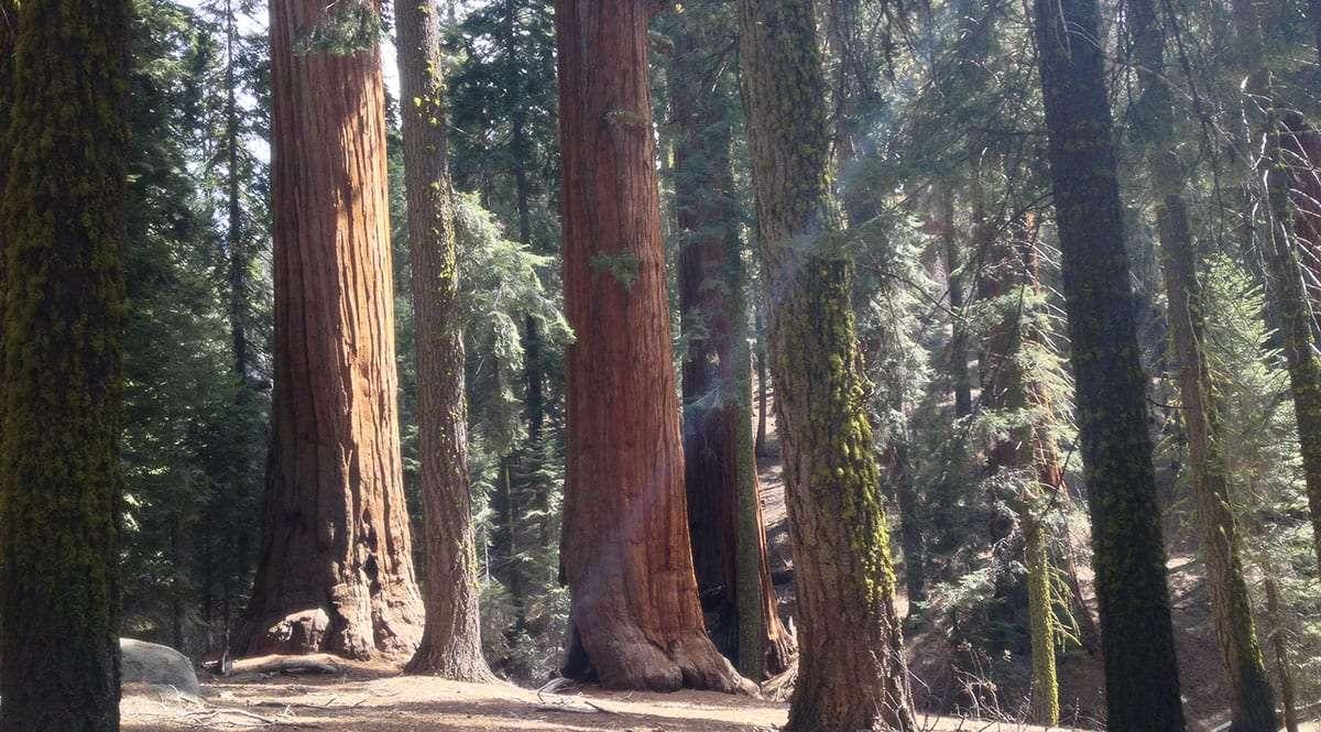 like pillars of sunshine, giant sequoias dominate a sierra mountain forest