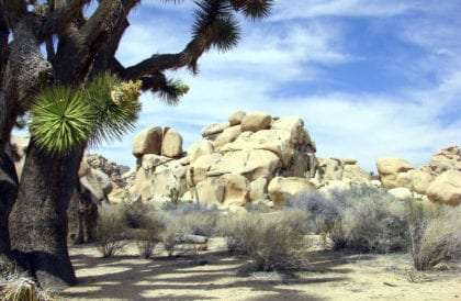 a joshua tree in the desert