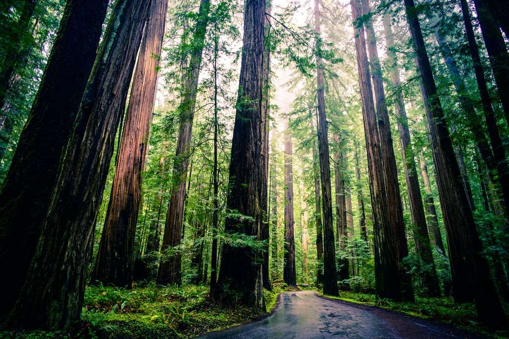 a road spins through a coast redwood forest