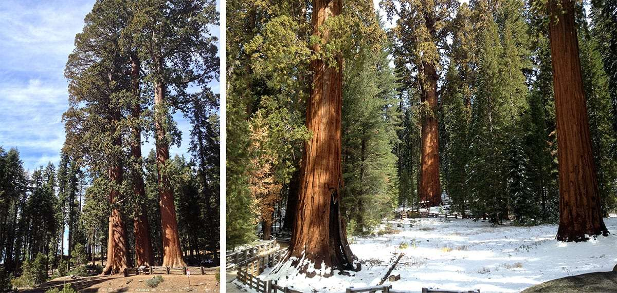 two photographs, the left showing three equally sized sequoia trees, the right showing general sherman and a few neighbors in snow
