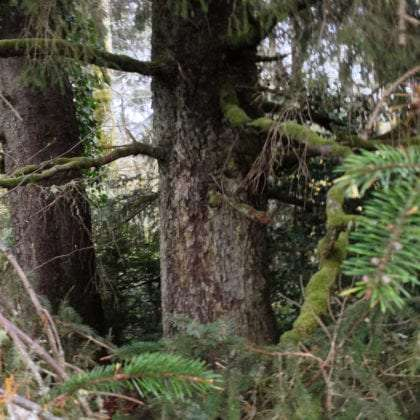 two tree trunks where the bark is flaky