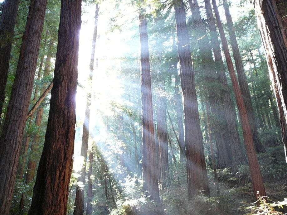 sunlight streams through the redwoods