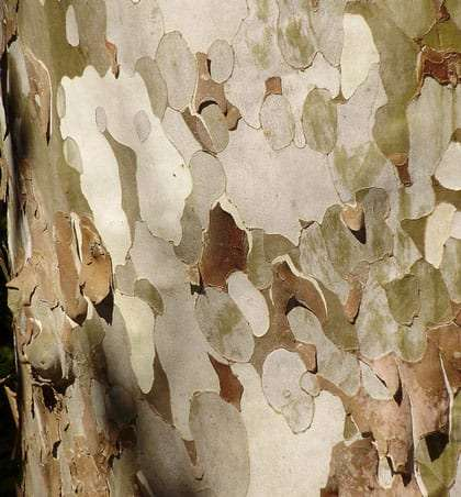 tan, white and brown bark
