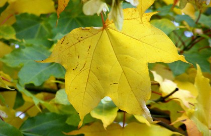a brightly colored yellow leaf, having turned in autumn