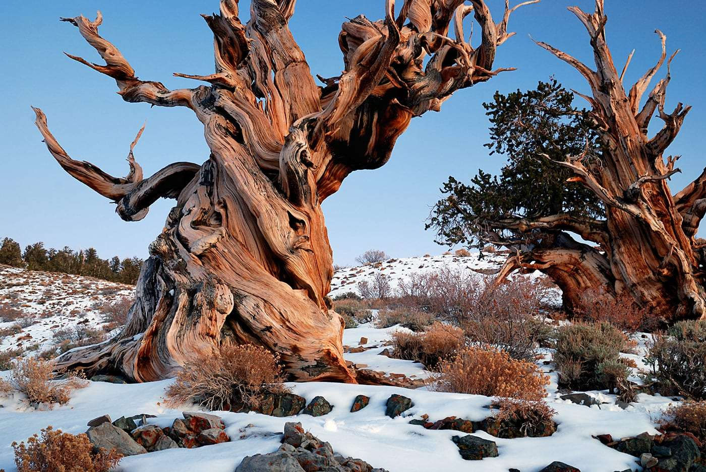 two thick ancient bristecone pines
