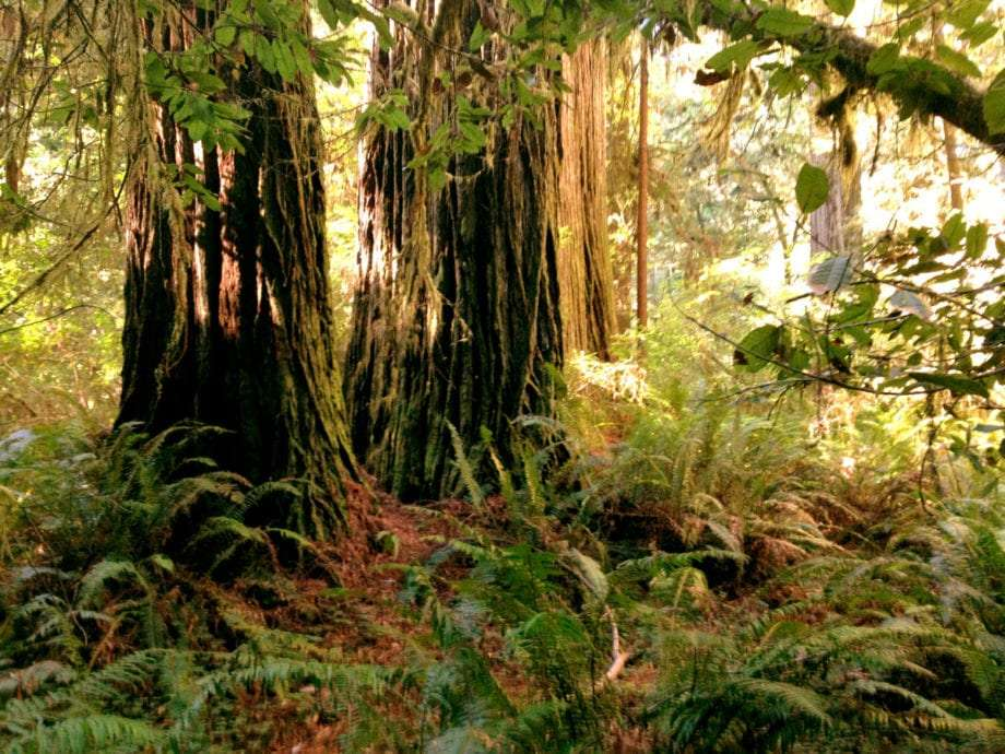 the dense undergrowth in contrast to the thick trunks of redwood trees