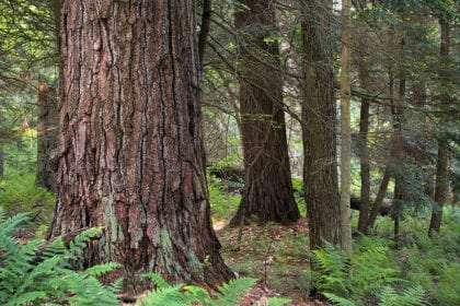 a wide tree in a forest, its bark deeply grooved