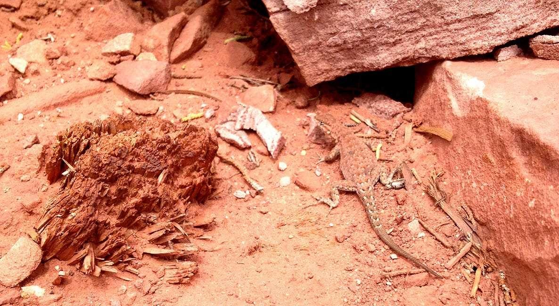 a lizard among the red rocks of Utah desert