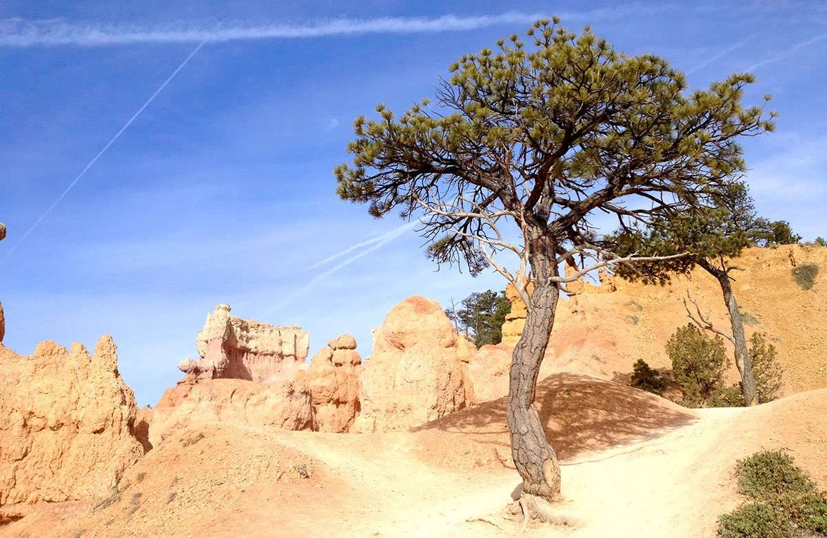a medium sized tree does well in the harsh environment of Bryce Canyon