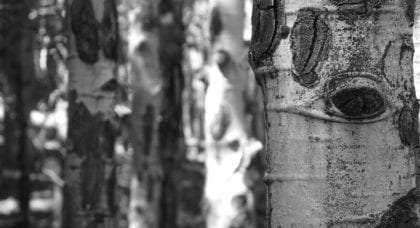 the eye of an aspen staring, as usual, from a grove of its fellows