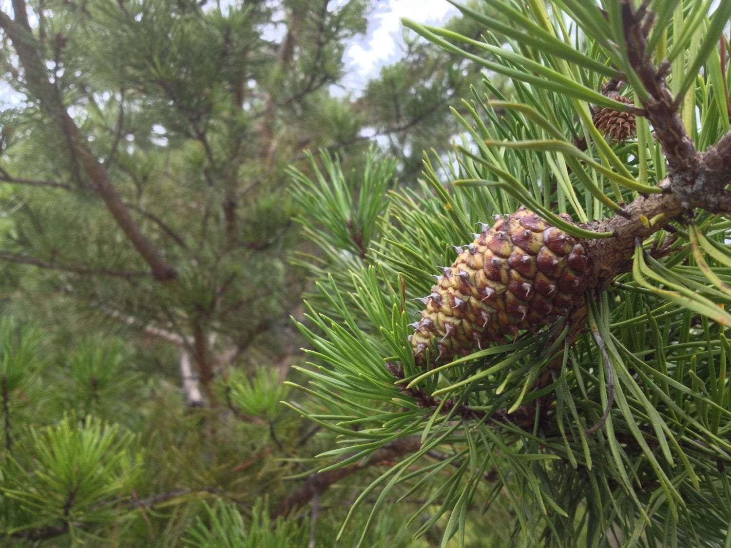 A Virginia pine cone, bristled and still closed on the tree