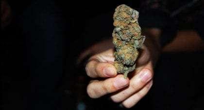 a hand holding a large bud of marijuana