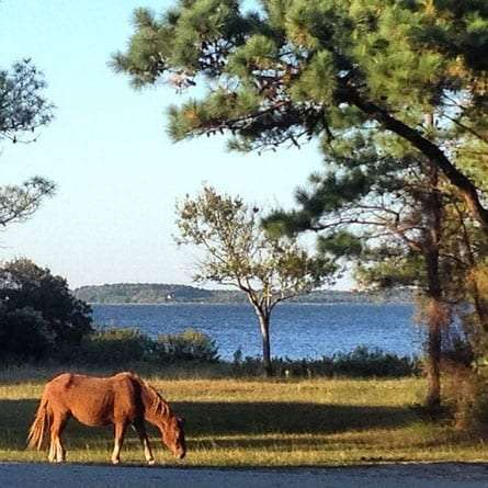 a wild horse grazes in a campground on Assateague Island