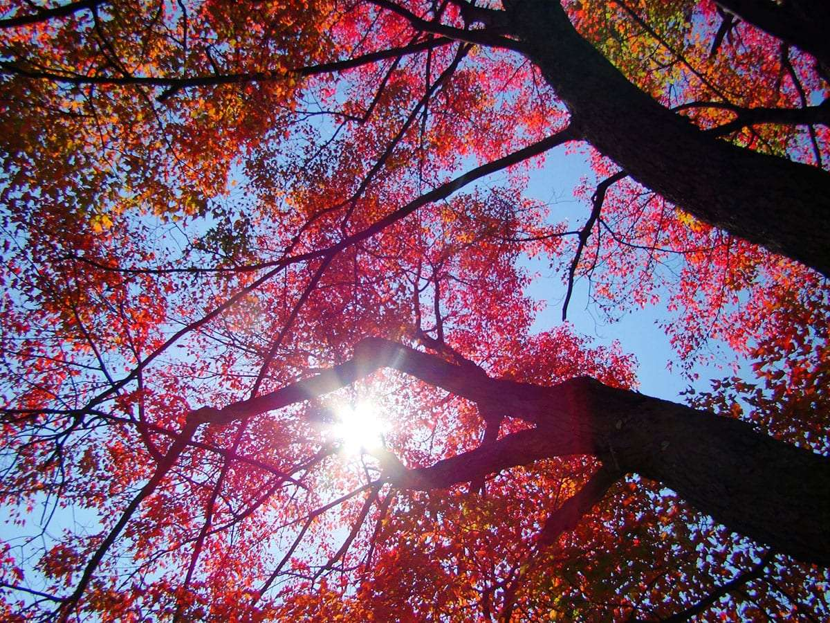 the sun whitens through the gaps in a sugar maples red autumn adornment
