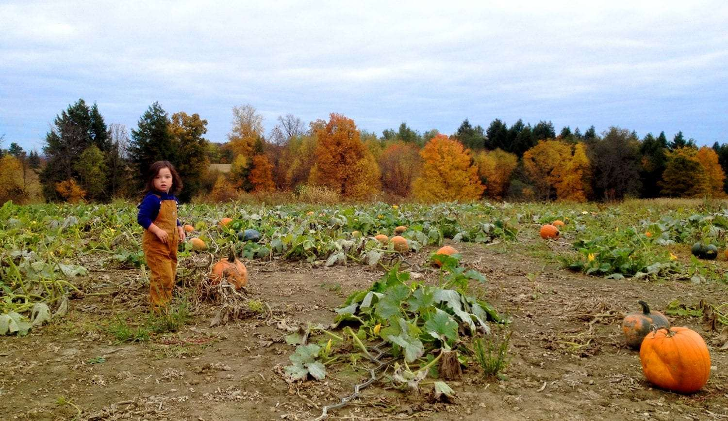 a toddler wearing overall bibs wanders through a pumpkin patch, leaves on many of the trees changing behind him.