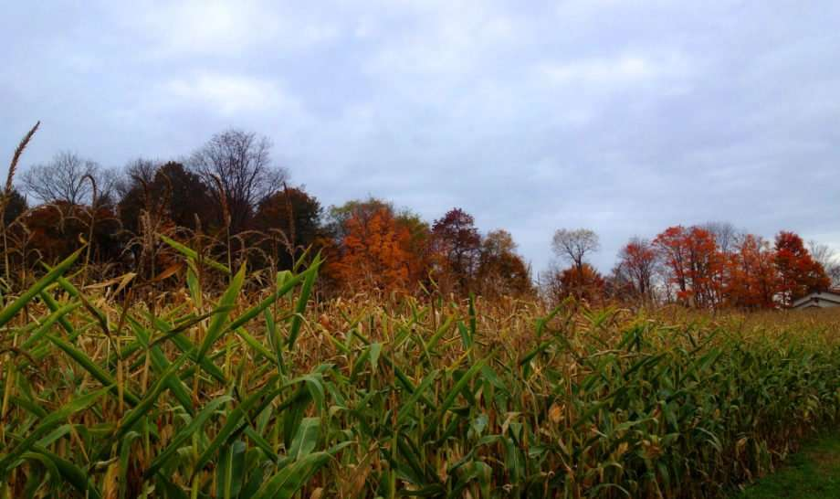 tall rows of corn, autumn in full bloom behind
