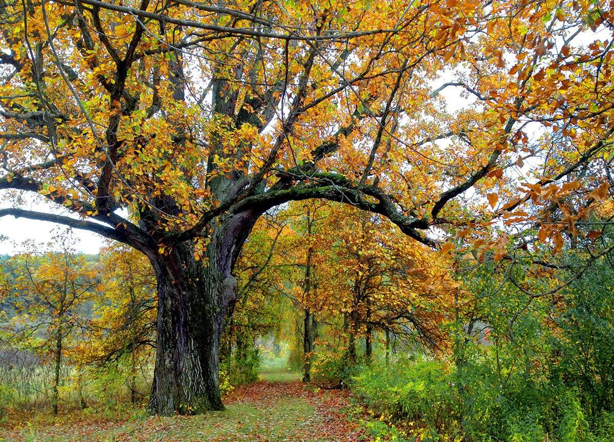 a tree thick with hundreds of years of age wears yellowing leaves along a trail