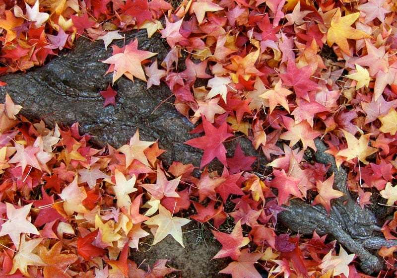 star-shaped red and yellow leaves cover the ground