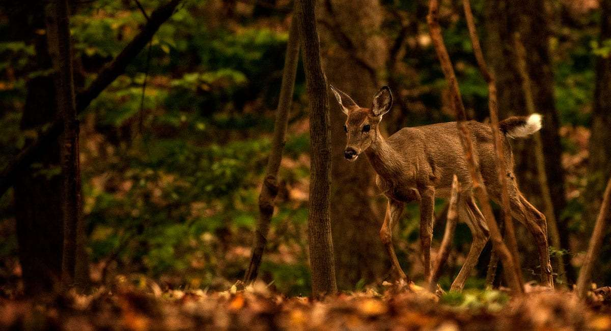 fallen leaves and a few remaining green trees adorn the scene as a doe quickens her way through the forest