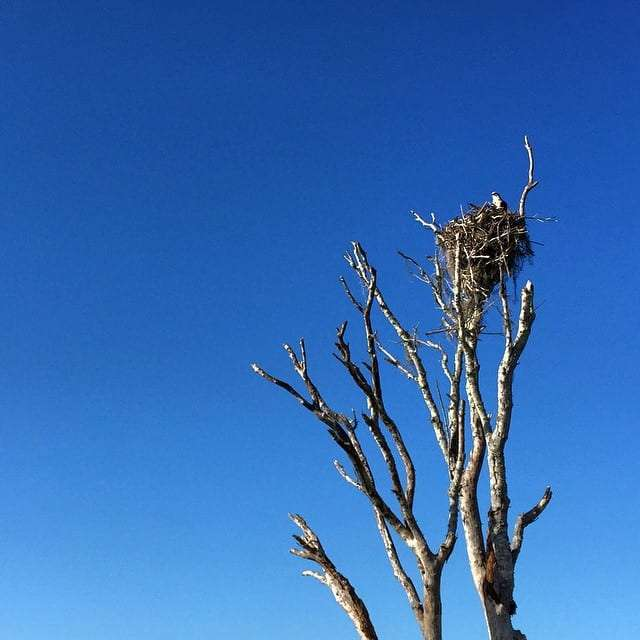 an osprey perched in a snag