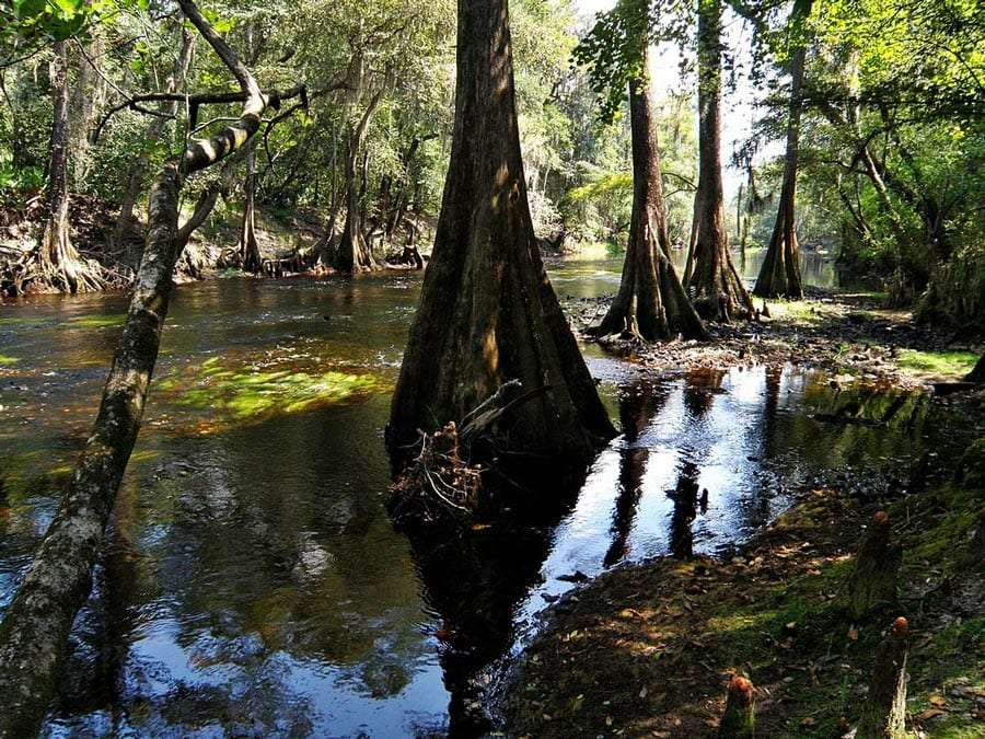 trees that grow thicker as they near the swamp water they live in lined up into the distance