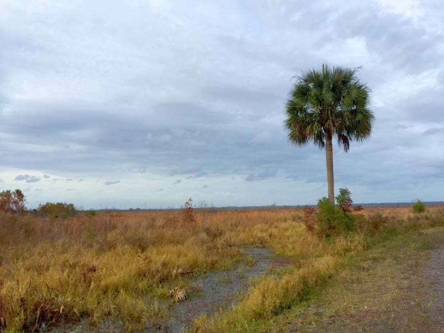 a lone sabal palm in the expanses of this state park
