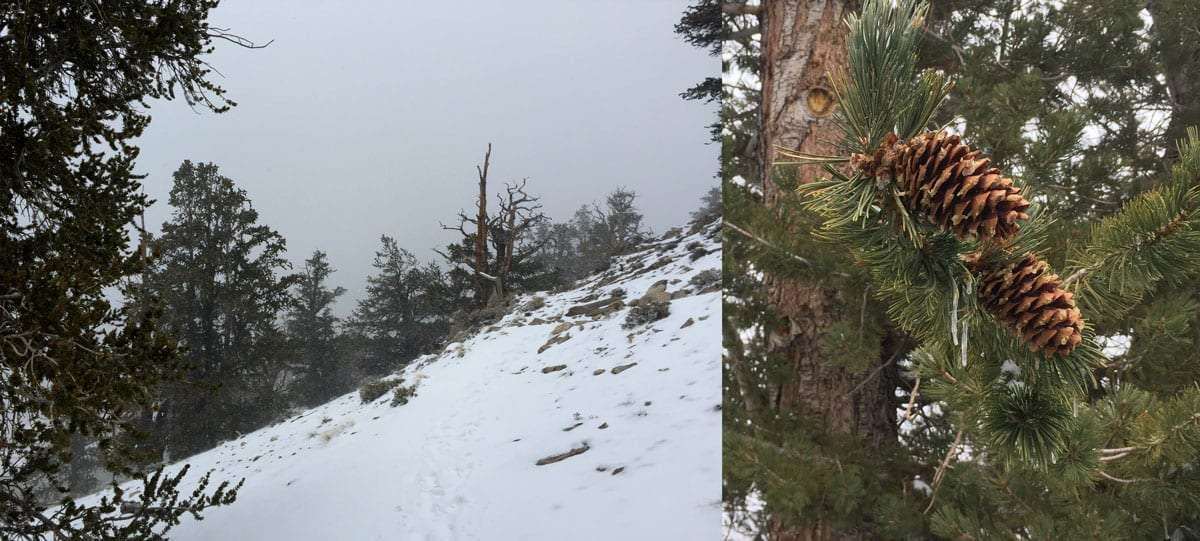 two shots, one of an ancient bristlecone pine from a distance, draped in snow, the second a close up of their distinctive needles and cones