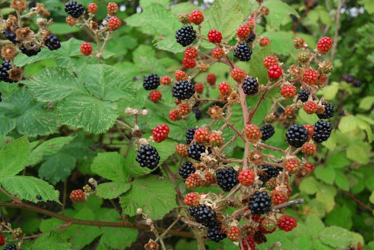 Essex, Lonon, UK, Thurrock, berries, wild food, foraging