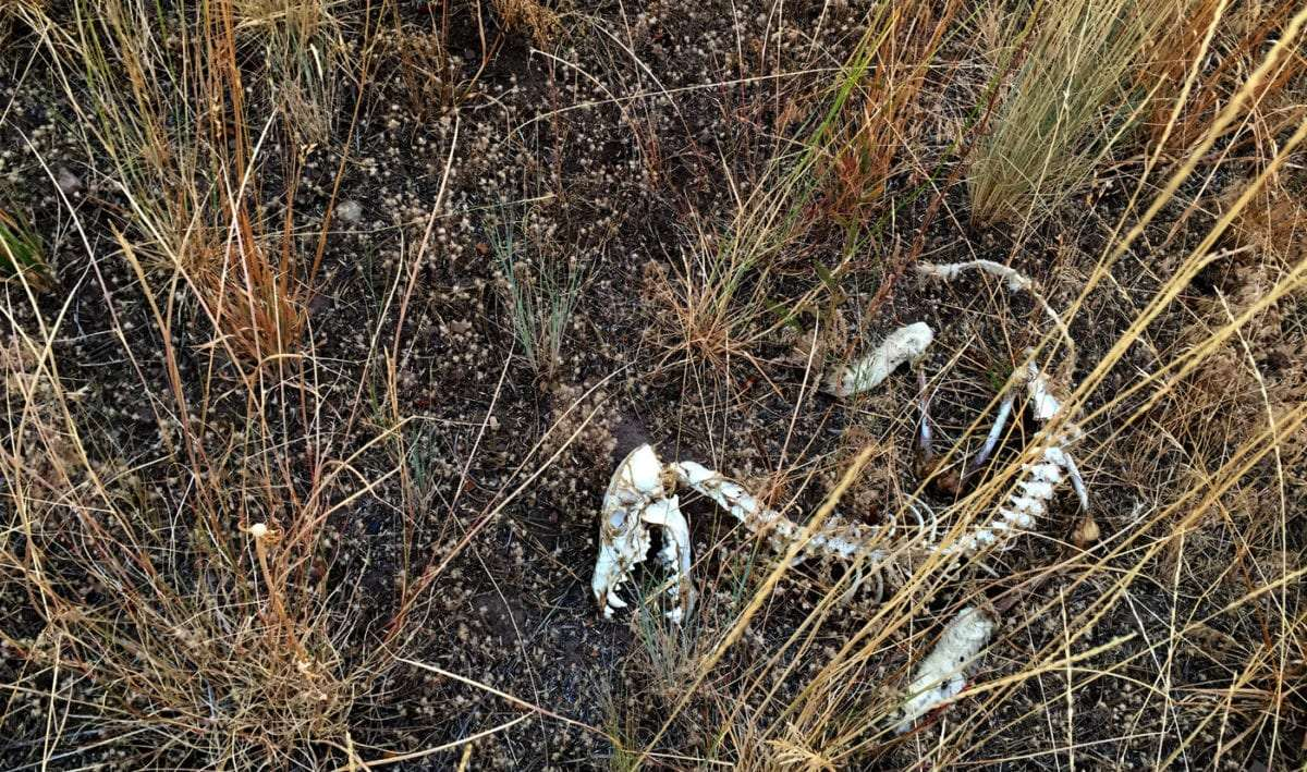 dead coyote bones in a field